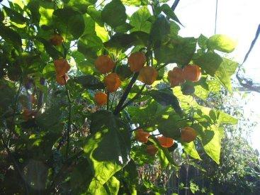 peppers_in_erins_garden_2.jpg