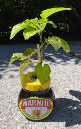 marmite-super-bhut-jolokia-jw-20210628.png