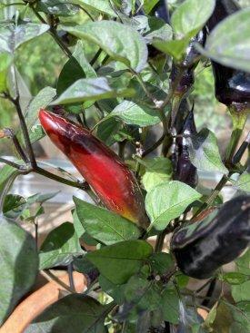 20210801-variegated-jalapeno-ripening.jpg