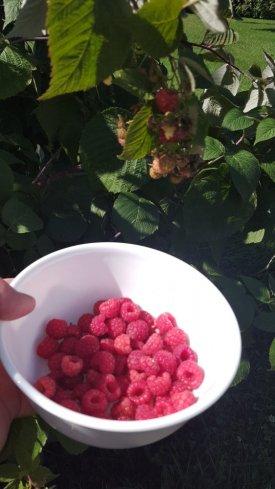raspberries 8-31-21.jpg