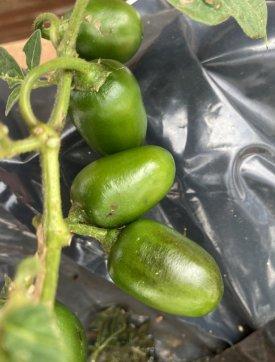20210917-mini-olive-rocoto.jpg