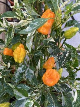 20210920-orange-fish-multiple-pods-ripening.jpg