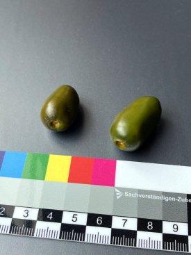 20210926-mini-olive-rocoto-1.jpg