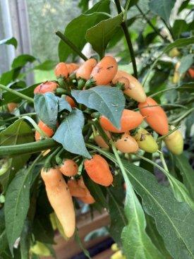 20211024-pimenta-moranga-peach.jpg